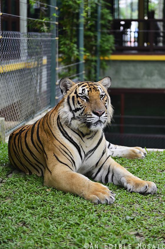 Tiger Kingdom 1