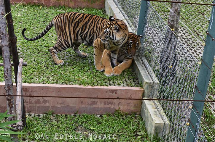 Tiger Kingdom 14