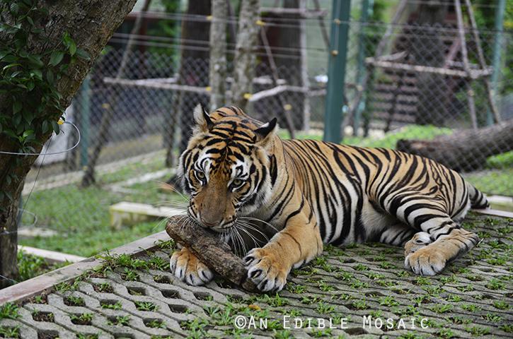 Tiger Kingdom 16