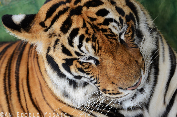 Tiger Kingdom 2