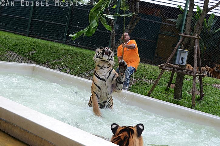 Tiger Kingdom 9