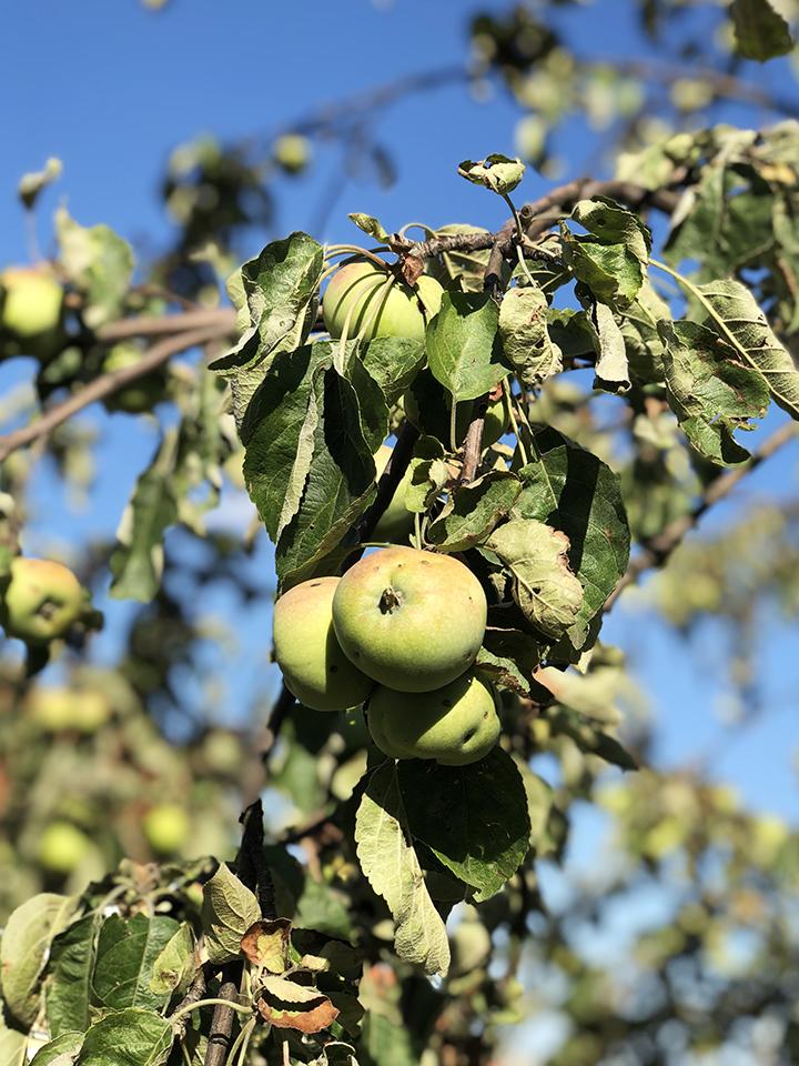 Apple Trees on Petrin Hill