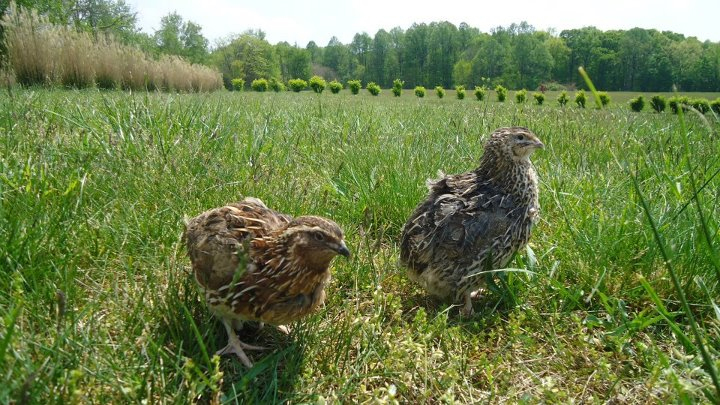 Quail: Are Big Things Ahead for a Tiny Bird in the U.S.?